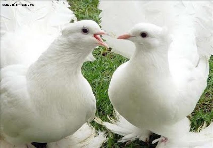 Картинки голубей.